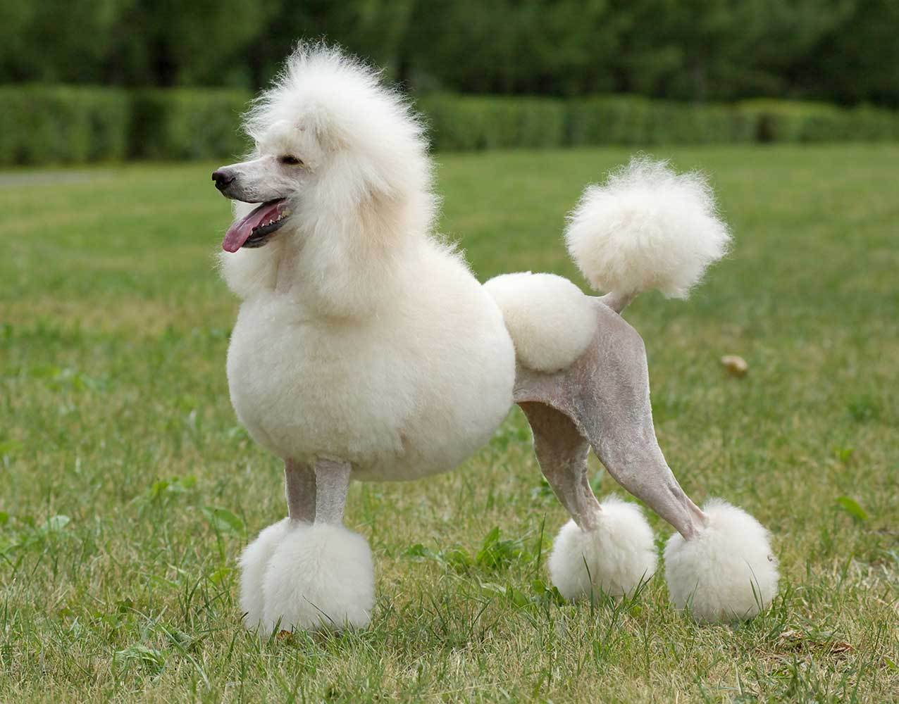 Poodle - Caniche - Pets and Vets